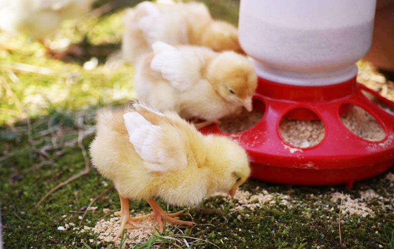 Цыплята едят комбикорм