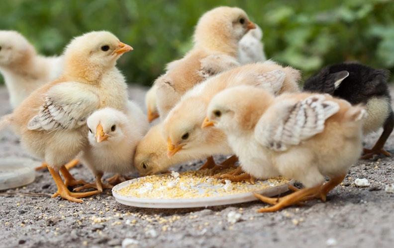 Еда для цыплят