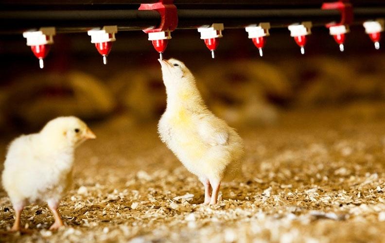 Ниппельные поилки для цыплят
