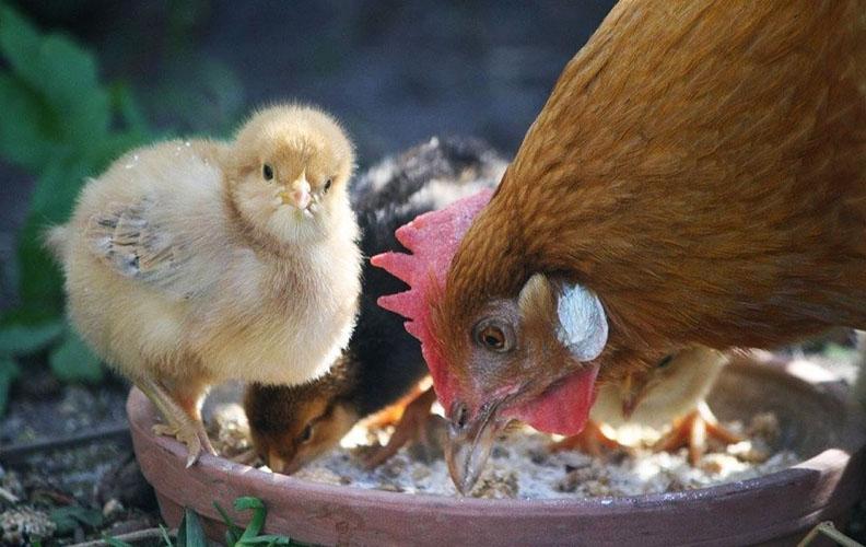 Курица и цыплята едят