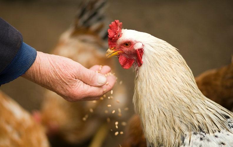 Корм для курицы