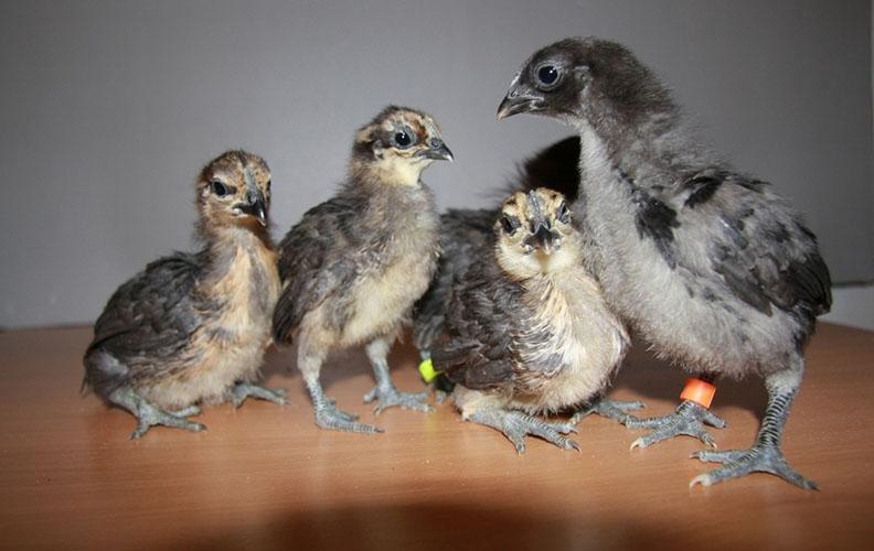 Цыплята лакеданзи