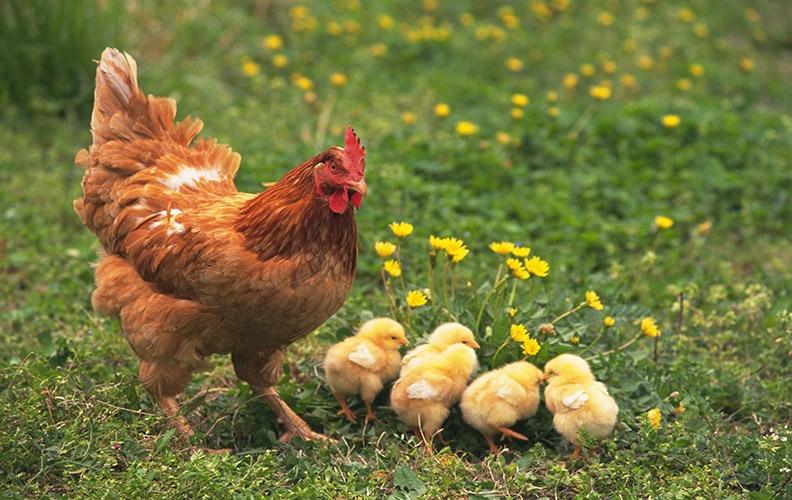 Курица и цыплята на лугу