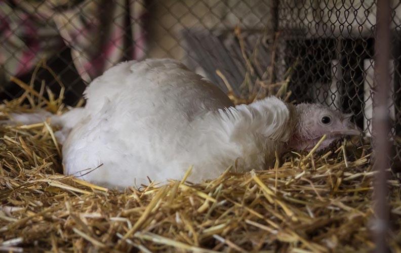 Индюшка в гнезде