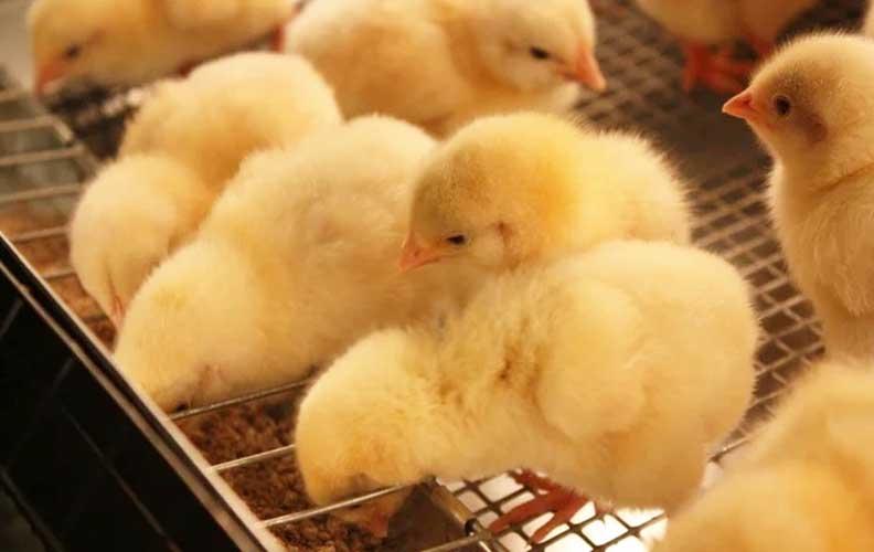 Температура в брудере для цыплят