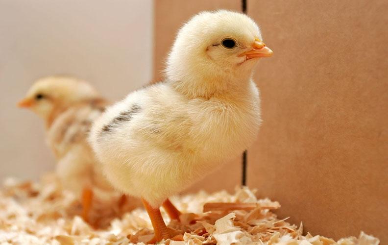 Суточный цыплёнок