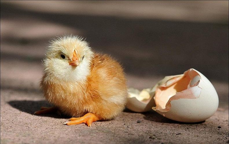 Цыплёнок и скорлупа