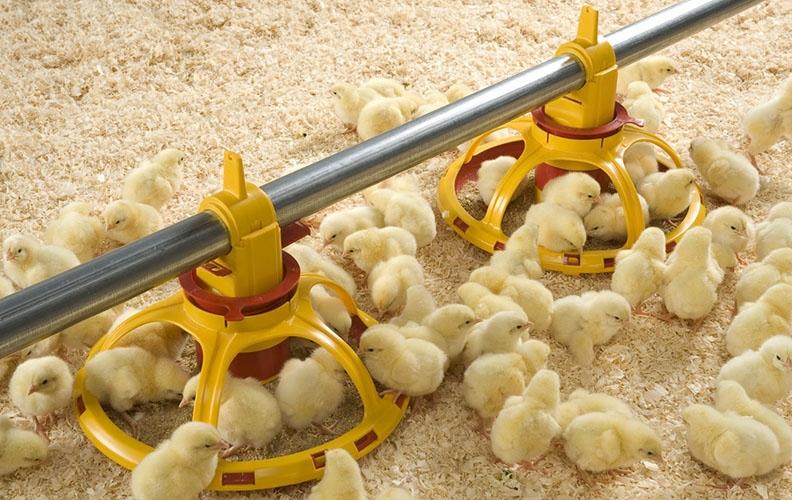 Цыплята на ферме