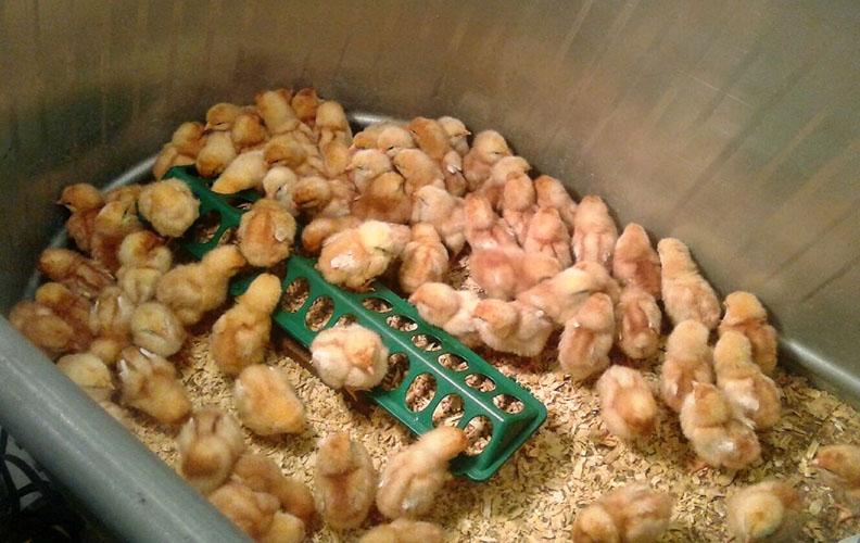 Цыплята едят