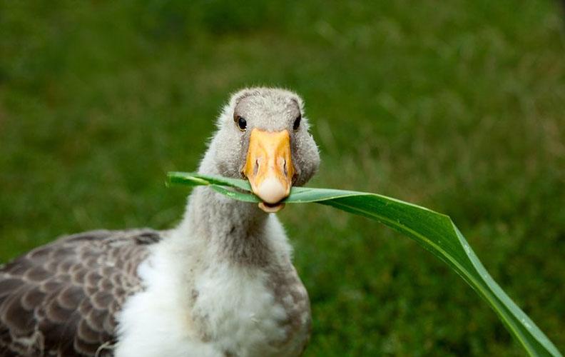 Гусь ест листья кукурузы