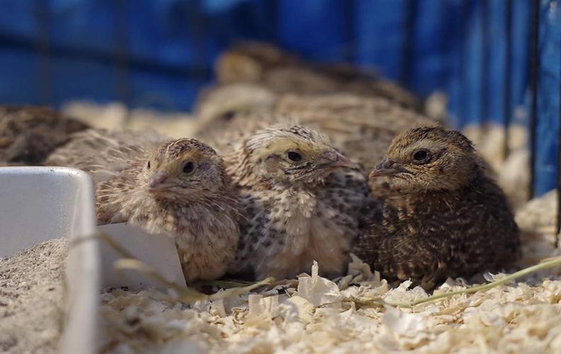 Перепелки в птичнике