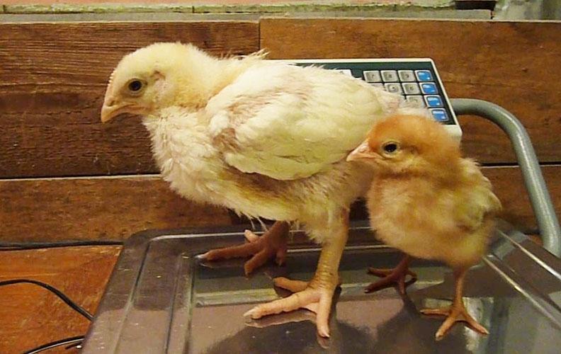 Цыплята несушки и бройлера