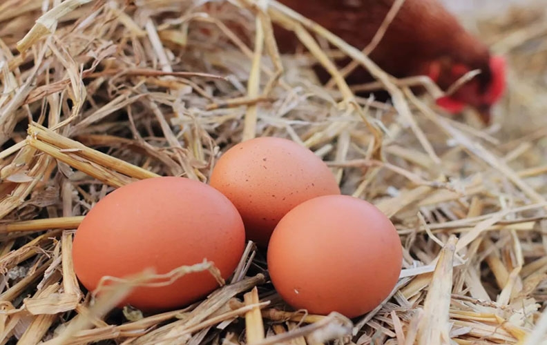 Яйца кур фокси чик