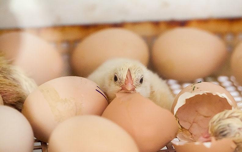 Режим инкубации куриных яиц