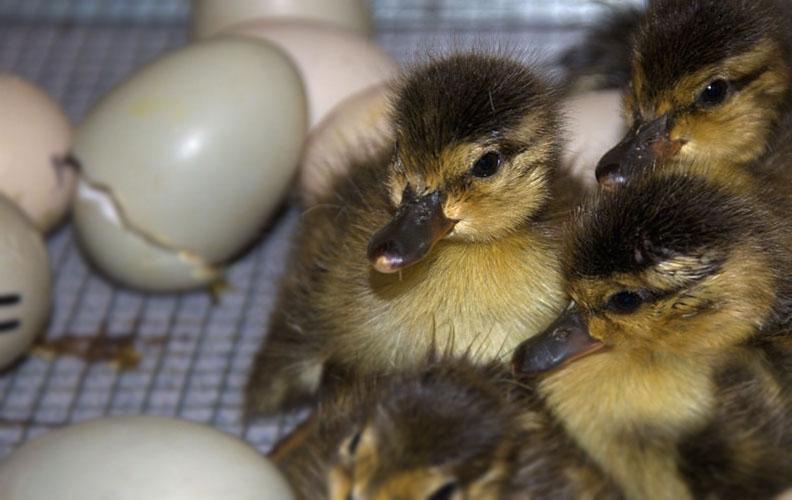 Режим инкубации утиных яиц