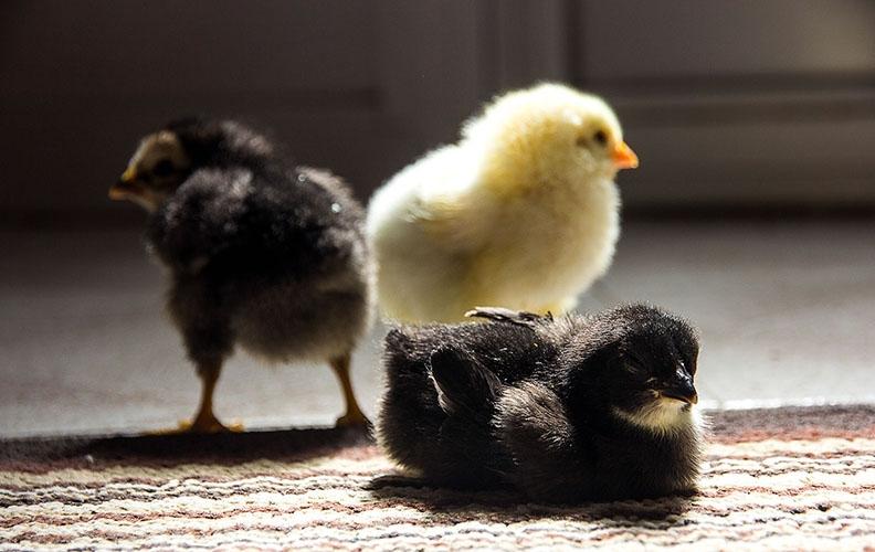 Терморегулятор для цыплят