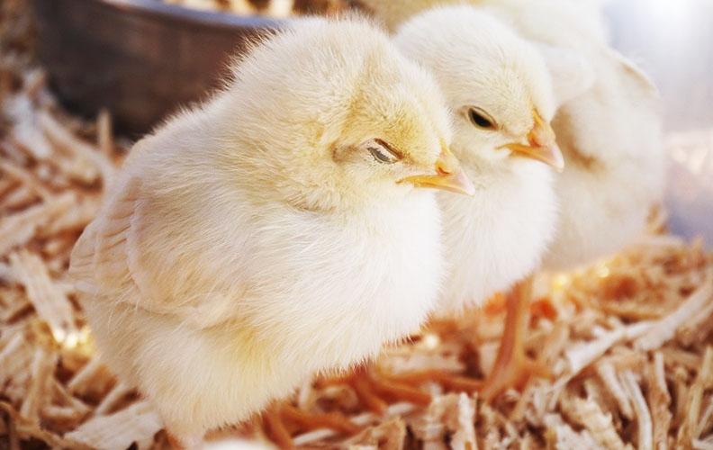 Цыплята греются