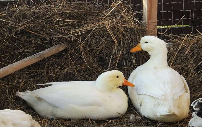 Пекинские белые утки