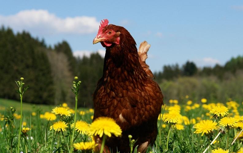 Курица на лужайке