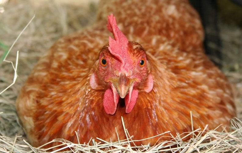 Яйценоскость кур-несушек