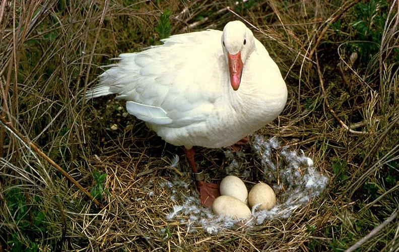 Гусыня возле гнезда