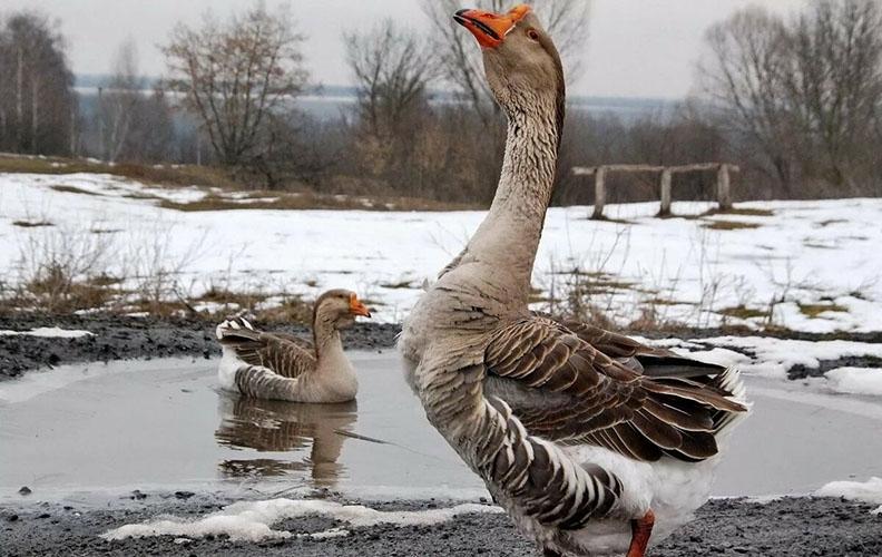 Гуси зимой на пруду