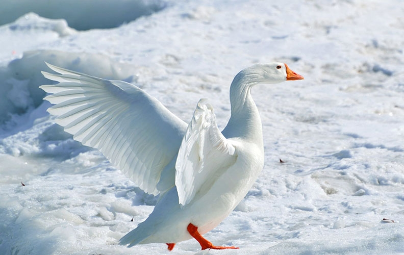 Можно ли гусей держать зимой на улице