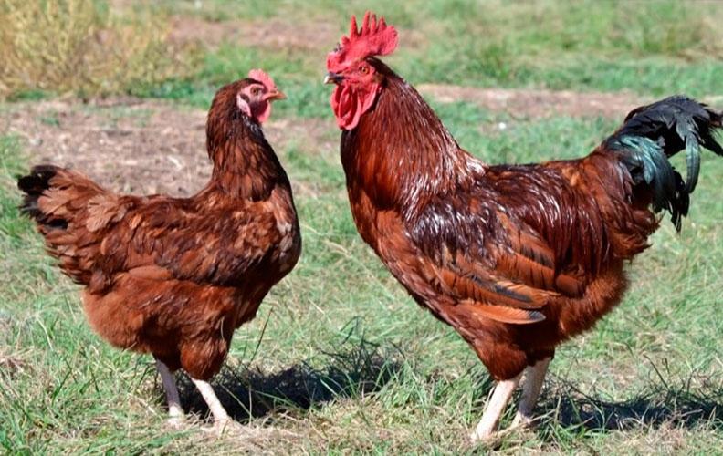 Курица и петух породы род-айленд