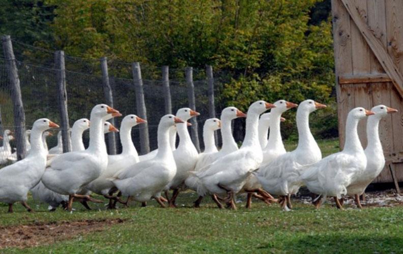 Венгерские гуси
