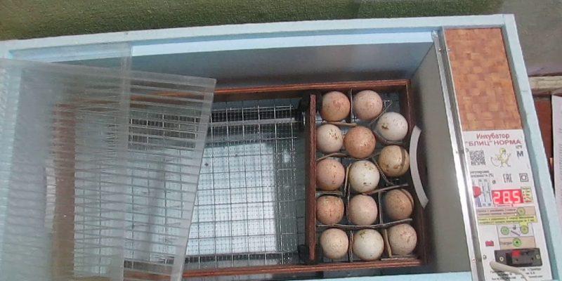 Правильная инкубация яиц индюков