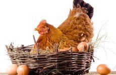 Через сколько несется курица?