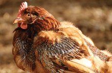 Сколько длится линька у кур?