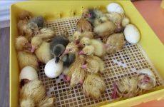 Инкубация яиц гусей