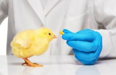 Антибиотики цыплятам