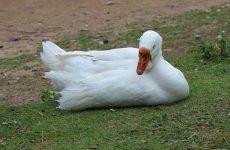 Чем лечить понос у гусей