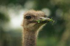 Чем питается страус