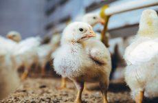 Чиктоник для цыплят-бройлеров