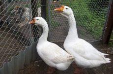 Горьковские гуси: описание породы