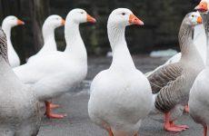 Итальянские белые гуси: описание породы