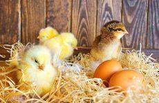 Как определить петух или курица