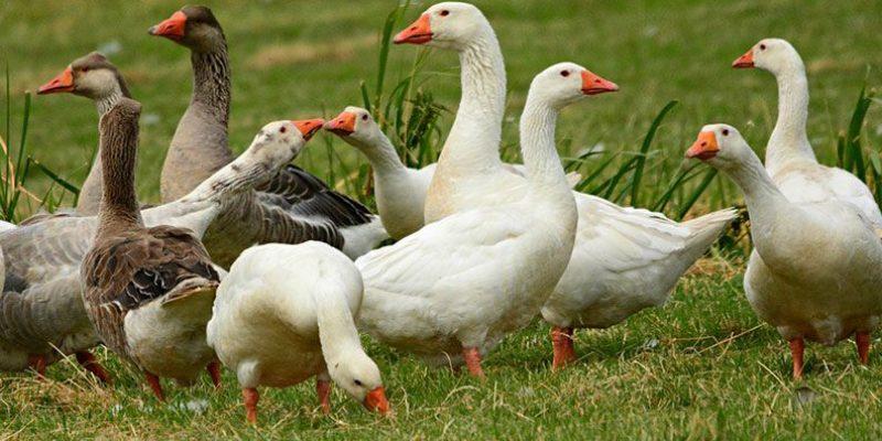 Как различить пол гусей