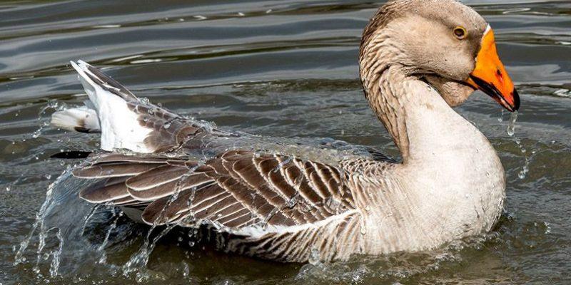 Как сделать пруд для гусей