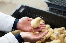 Как вырастить суточных цыплят