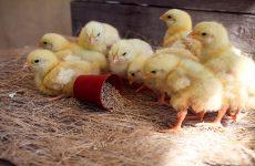 Комбикорм для цыплят с первых дней жизни