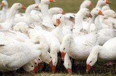 Кормление гусей перед забоем