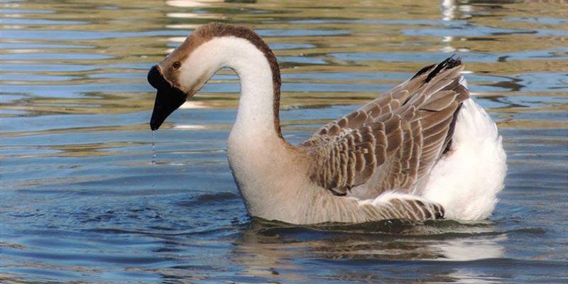 Кубанские гуси: описание породы