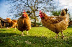 Курица захромала на одну ногу: что делать?