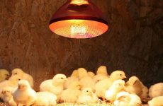 Лампа для цыплят-бройлеров