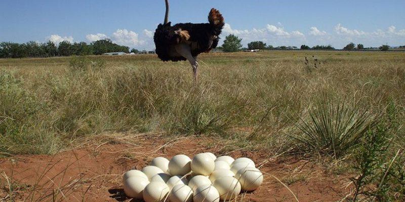 Масса яйца страуса