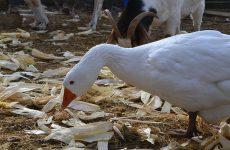 Можно ли кормить гусей кукурузой